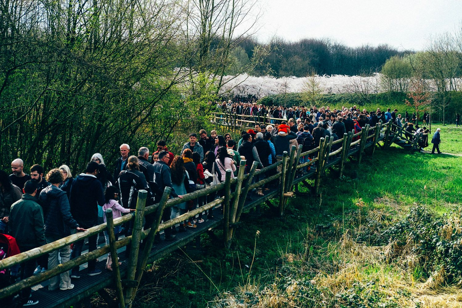 Crowd heading towards the cherry blossom park of Amsterdam Forest for Cherry Blossom Festival 2016.